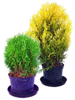 Декоративные деревья и кусты