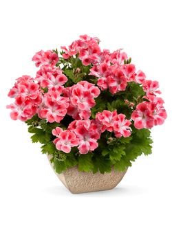 Квіти для балкона
