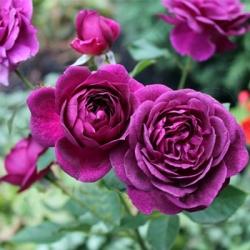 Бордюрная роза патио Нью Эйдж