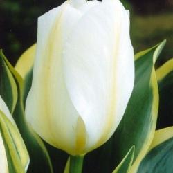 Тюльпан  Purissima  гибрид Фостера