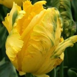 Тюльпан  Texas Gold  попугай