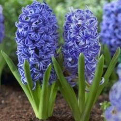 Гиацинт Delft Blue (горшки-теплица)