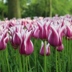 Тюльпан  Claudia лилиевидный
