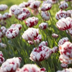 Тюльпан  Carnaval de Nice  махровый