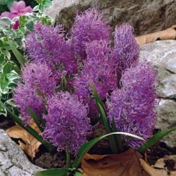 Мускари Comosum Plumosum