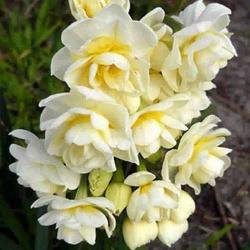 Нарцисс  Erlicheer Мультицветковый