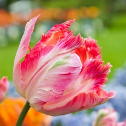 Тюльпан  Apricot Parrot- Априкот Паррот  попугай тюльпан