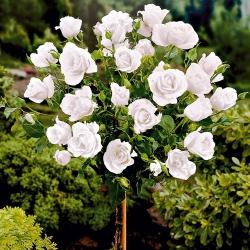 Штамбовая роза Белая wielkokwiatowa