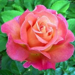 Саженцы розы чайно-гибридная Бирди класс А (8шт)