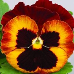 Виола Дует крупноцветковая