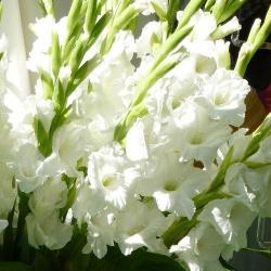 Луковица Гладиолуса Bangladesh