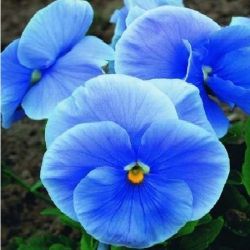 Виола Дункленбау крупноцветковая