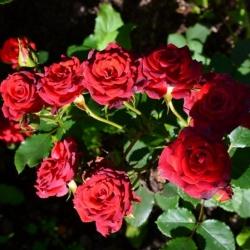 Мелкоцветковая роза Красная