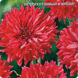 Василек Красный шар