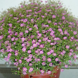 Гипсофила Розовая Красавица
