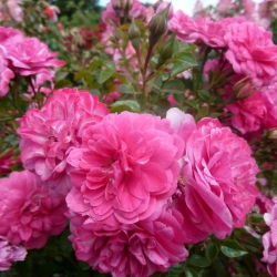 Саженцы розы грунтопокривельна Книрпс (Розова махровая) класс А (8шт)
