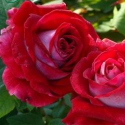 Роза флорибунда Альянс