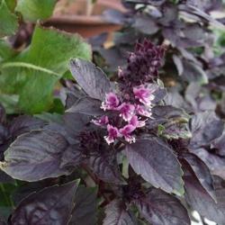 Базилик Темный Опал фиолетовый