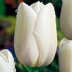 Тюльпан  Clearwater Гигантский