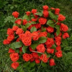 Чайно-гибридная роза Корвет