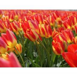 Тюльпан  Florette  мультифлора тюльпан