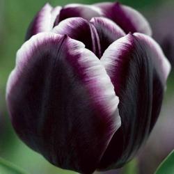 Тюльпан  Jack Pot  триумф