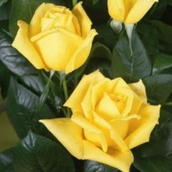 Штамбовая роза Желтая