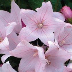 Платикодоно Гаваи розовый