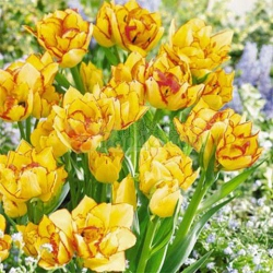 Тюльпан  Aquilla -  махр+многоцветк.