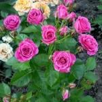 Мелкоцветковая роза Lovely Lydia (Лавли Лидиа)