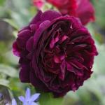 Английская роза Кинг Мунстед Вуд
