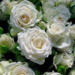 Мелкоцветковая роза Уайт Леди