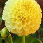 Саженец ГЕОРГИНА помпонная Deepest Yellow