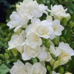 Фрезия махрова White