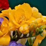 Фрезия махрова Yellow