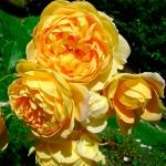 Саженцы розы махровая английский Голден Селебрейшн