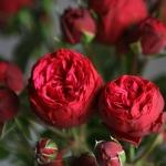 Английская роза Пиано