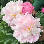 Пион травянистый огромный цветок Catharina Fontyn