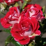 Мелкоцветковая роза Руби Стар