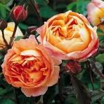 Английская роза Кинг Гамильтон