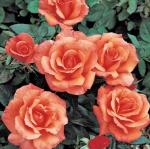 Вьющаяся роза Сансет