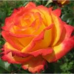 Вьющаяся роза Белль