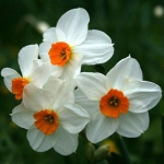 Нарцисс  Geranium - Гераниум -  многоцветк.