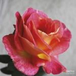 Вьющаяся роза Павлиний глаз
