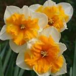 Нарцисс  Orangery  corona split