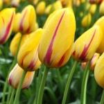 Тюльпан  Hocus Pocus  гигантский