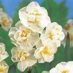 Нарцисс  Cherfulness 10/12  многоцветк.
