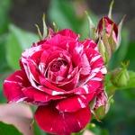 Бордюрная роза Арроу Фолиес