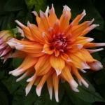 Георгина кактусовая Color Spectacle