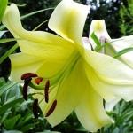 Луковицы лилии Conca d`or